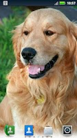 Screenshot of Golden Retrievers Wallpaper