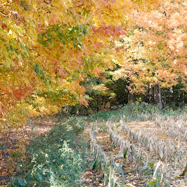 by Todd Yonkers - Landscapes Prairies, Meadows & Fields ( nature, color, beautiful, fall, corn )