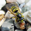 Eastern Yellowjacket - With prey