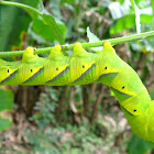 death's head hawk moth caterpillar
