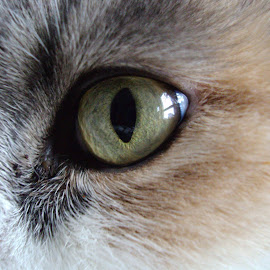 Cat's Eye  by Kmetica Vesela - Animals - Cats Portraits ( cat, beautiful, white, artistic, fur, brown, yellow, interesting, close up, photo, eye, colorful, mood factory, vibrant, happiness, January, moods, emotions, inspiration )