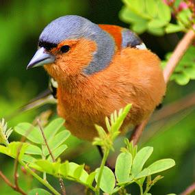 Caffinch by Tim Bennett - Animals Birds
