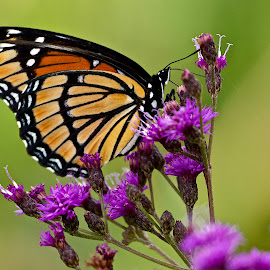 Monarch on thistle by Dan Ferrin - Animals Insects & Spiders ( monarch butterfly, butterfly, nature, butterflies, wildlife, insect )