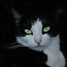 In The Dark by Vince Scaglione - Animals - Cats Portraits ( cats, kitten, pet, rescue, portraits, feline, kitty, mammal, animal )