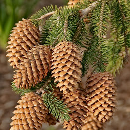 Laden with cones by Luanne Bullard Everden - Nature Up Close Trees & Bushes ( pines, nature, pinecones, trees, needles )
