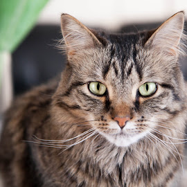 eyes by Michele Williams - Animals - Cats Portraits ( cat, pet, green, maine coon, stripes, eyes,  )