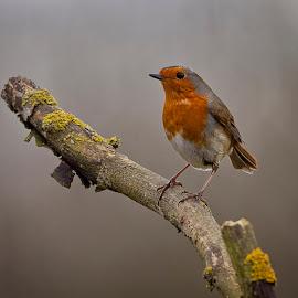 Robin by Ian Pinn - Animals Birds ( bird, robin, winter, branch, redbreast )