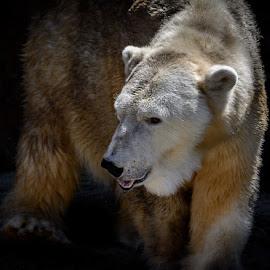 Patches by Gregg Pratt - Animals Other Mammals ( polar bear )