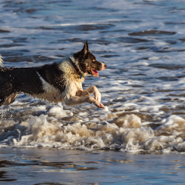 Wave Runner by Joe Kirby - Animals - Dogs Running ( splashing water, border collie, dog running in sea, waves, action, running in sea, dog, running, running in waves, coast )