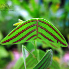 Butterfly Wing Plant