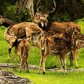 Old Memories at Bandipur...but still love to photograph a herd of deer. The sight still amazed me just like a Tiger or Elephant sighting. by Chiranjit Wings - Animals Other Mammals