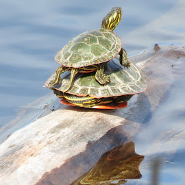 turtle piggy back  by Stephanie Eayrs - Novices Only Wildlife