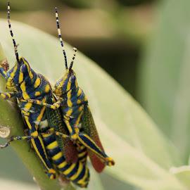Grasshopper by Venkatesan Elumalai - Novices Only Macro ( mates, mating, twins, grasshopper )