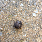 Rolly Polly ( pill bug )