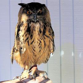 Owl by Joel Ortiz - Animals Birds ( law, harvard, black crow, red chattering squirrel, horned owl )