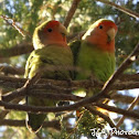 Rosy-faced Lovebirds