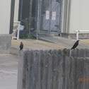 Great-Tailed Grackle, Common Grackle