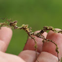 Moss mimic stick insect