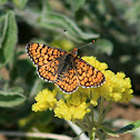 Arachne Checkerspot