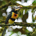 Pale-mandibled Aracari