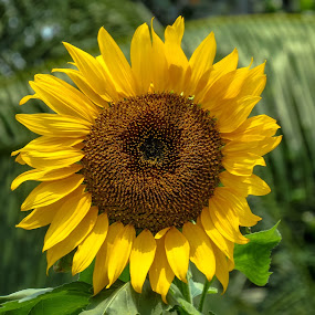 Sunflower  by Topu Saha - Flowers Single Flower ( single, nature, single flower, sunflowers, nature up close, sunflower, flower )