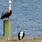 Brown pelican and osprey