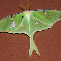 Luna moth, with friend