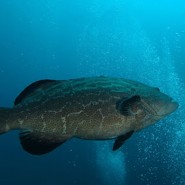 Black Grouper by David Gilchrist - Animals Fish