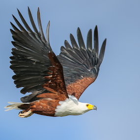 African Fish Eagle by Rian Van Schalkwyk - Animals Birds ( okavango river, wings, african fish eagle, raptor, in flight,  )