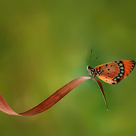 NYANYIAN KERINDUAN by Alonk's Roby - Animals Insects & Spiders ( macro butterfly nature photography eos,  )