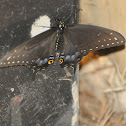 Spicebush Swallow Tail (at night)