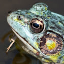 """Blue & Yellow"" Northern Green Frog"