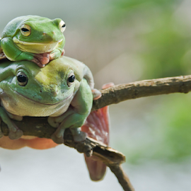 You and I by Choky Ochtavian Watulingas - Animals Amphibians ( animals, csv, frogs, amphibians, bokeh )