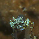 Striped Bumble Bee Shrimp