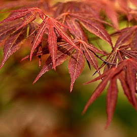 Japanese maple by Viorel Stanciu - Nature Up Close Leaves & Grasses ( japanese maple, autumn leaves, autumn, trees, autumn colors, leaves,  )