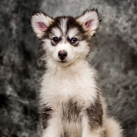 Talkeetna the Malamute at 11 Weeks by Stuart Partridge - Animals - Dogs Puppies