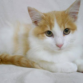 White Kitten on White by Cecilia Sterling - Animals - Cats Kittens (  )