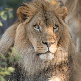 Kitambi's Stare by Daryl Nickelson - Animals Lions, Tigers & Big Cats ( big cats, nature, wildlife, lions, photography )