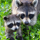 Raccoons (mother and baby)