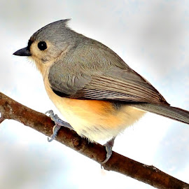 Tufted Titmouse by Tim Hall - Animals Birds ( bird, winter, snowbird, snow, titmouse, birding )