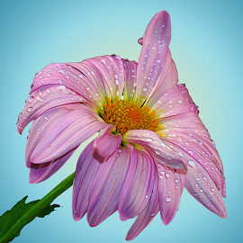 Pink Daisy by Dipali S - Digital Art Things ( plant, detail, gift, single, seasonal, colorful, bright, botany, one, daisy, object, beauty, botanical, spring, pretty, blossom, close, macro, nature, fresh, digital art, pink, head, closeup, flower, decoration, blooming, flora, beautiful, bloom, render, season, color, summer, freshness, garden, natural, floral, growth )