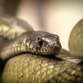 snake by Francy John - Animals Reptiles ( snake, reptile, close up, snakes )