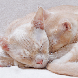 Mother and son by Mia Ikonen - Animals - Cats Portraits ( peaceful, finland, sleeping, cute, burmese )