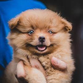 little dog by Muhammad Irfan Farooq - Animals - Dogs Puppies ( puppies, doggy, dog portrait, little, puppy, dog, small, animal,  )