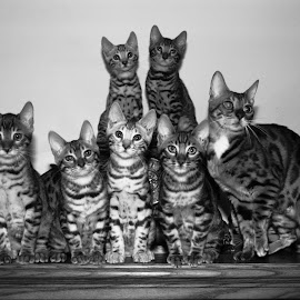 Group Shot by Rob Ebersole - Animals - Cats Kittens ( www.wnybengals.com rob ebersole bengal kittens, maplewood bengals, bengal )