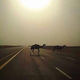 Jamal fil Sahara Saudi Arabia by Rosafe Soliven - Animals Other