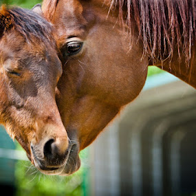 Momma Horse embraces her Colt by Joe Boyle - Animals Other Mammals ( farm, equine, shelter, colt, mamma, horse, rescue )