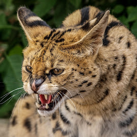 Snappy by Garry Chisholm - Animals Lions, Tigers & Big Cats ( garry chisholm, predator, carnivore, serval, nature, wildlife )