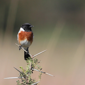 African Stonechat by Andrew Keys - Animals Birds