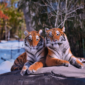 moment for posing   by Dejan Gavrilovic - Animals Lions, Tigers & Big Cats ( two tigers  snow winter tigers photodejan )